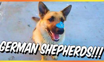 10 Humorous German Shepherd Movies