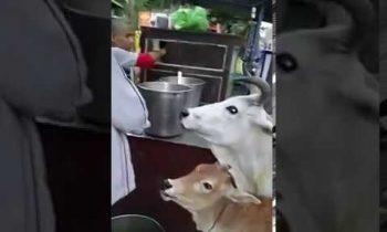 cow consuming golgappa ||loopy movies|| ये गाय गोलगप्पे खाती है||